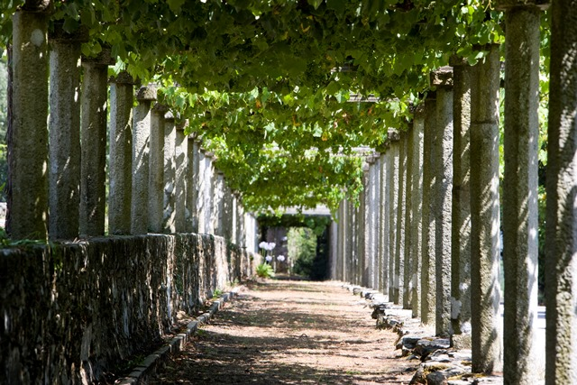 Martín Códax cuenta con cerca de 450 hectáreas de uva Albariño